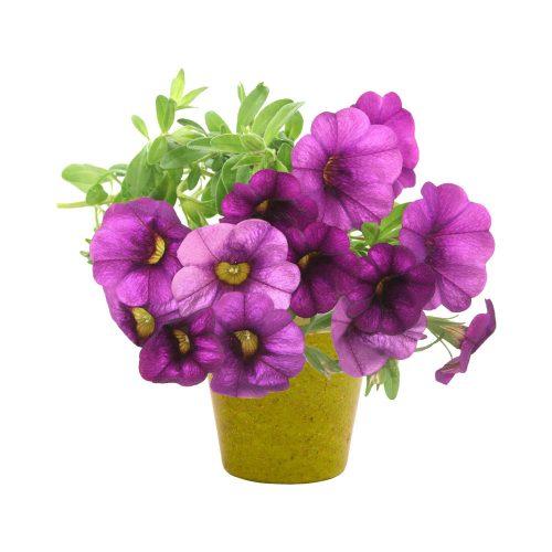 PETUNIA v kvetináči